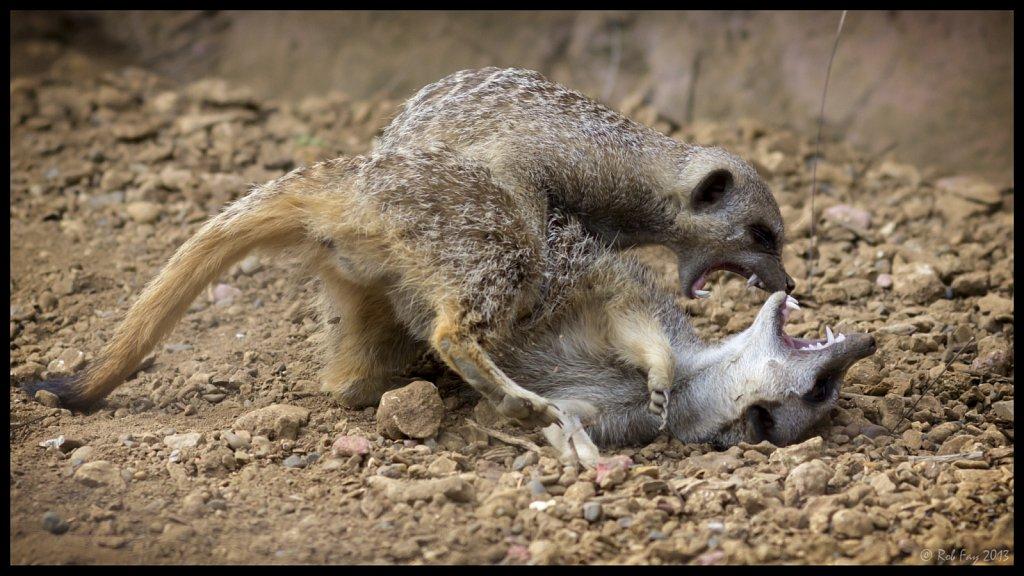 Fighting Meerkats